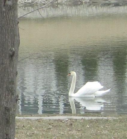 Move - swan